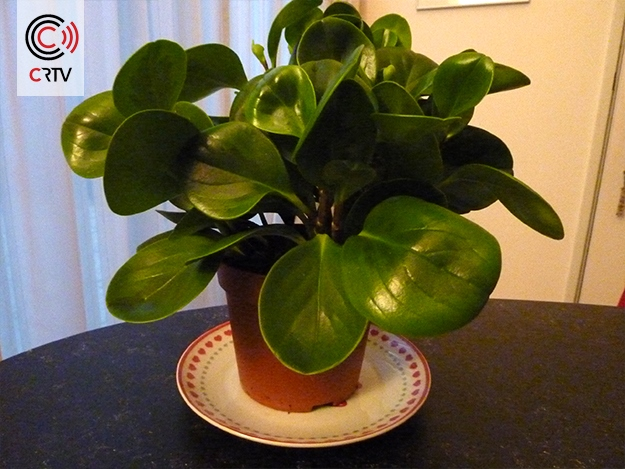Planten-CRTV