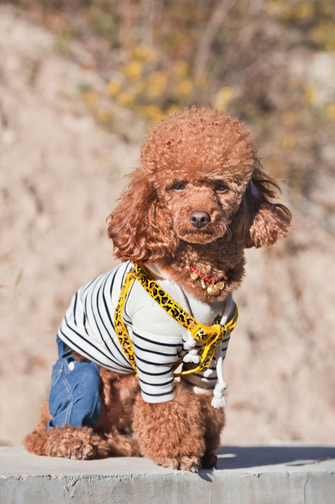 Vooral hondjes worden erg ludiek aangekleed